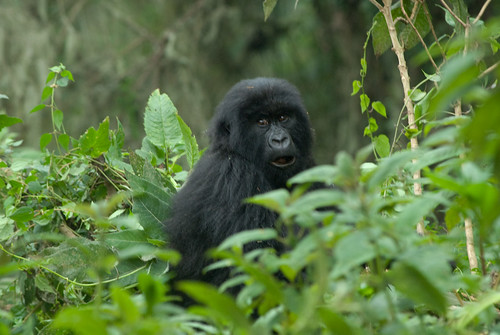 Mountain Gorilla, Umubano Group