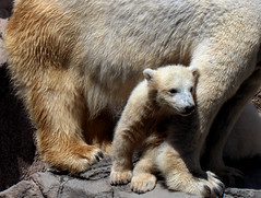 animal(1.0), polar bear(1.0), mammal(1.0), grizzly bear(1.0), fauna(1.0), brown bear(1.0), bear(1.0), wildlife(1.0),