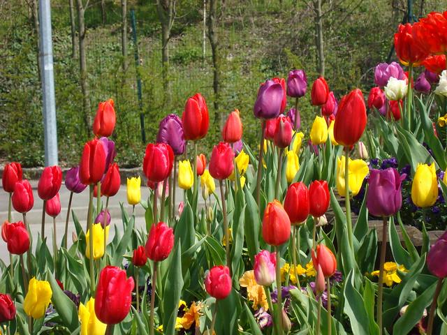 Tulipes au milieu de la route (14)