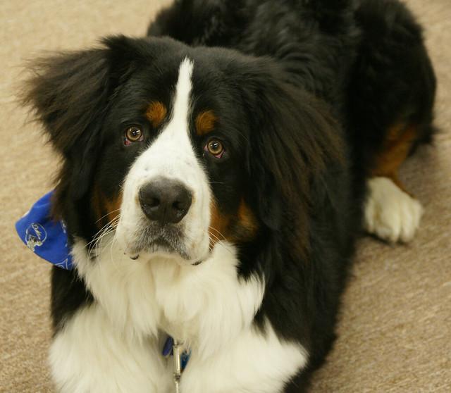 big fluffy dog | Flickr - Photo Sharing!