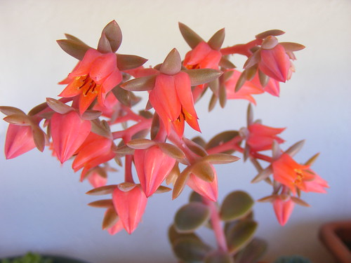 Echeveria 'Bronze' flowers