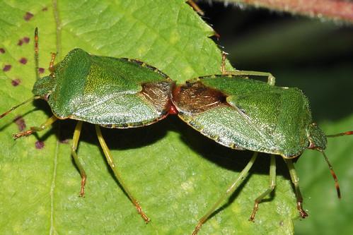 Green Shieldbug 7164