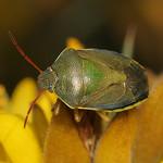 bíboros címerespoloska - Piezodorus lituratus