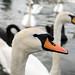 Swans by Ghazghul