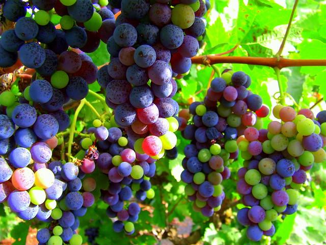 binyamina grapes