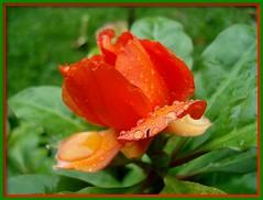 Reddy Orange Beauty....