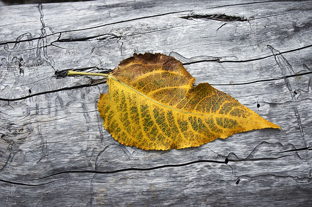 Yellow Leaf on log