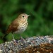 Swainson's Thrush - Photo (c) Minette Layne, some rights reserved (CC BY-NC)