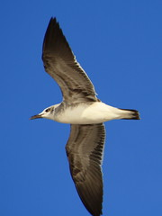suliformes(0.0), albatross(0.0), gannet(0.0), animal(1.0), wing(1.0), fauna(1.0), european herring gull(1.0), beak(1.0), bird(1.0), flight(1.0), seabird(1.0),