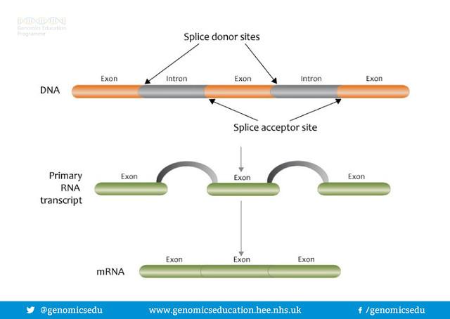 Splice donor sites
