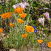 ca-poppy-sticky-phacelia-morning-glory