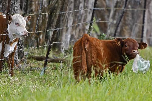 hawaii cow 6ws explore waimea bigisland bovine animalplanet kamuela canonef70200mmf28lisusm canon14xiiextender lmaoanimalphotoaward