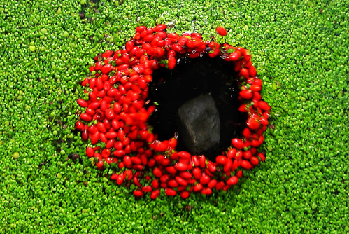 red berries | black hole | green duckweed | landart