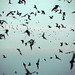 swarms of bats in Austin