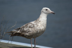animal, charadriiformes, fauna, european herring gull, shorebird, beak, bird, seabird, wildlife,