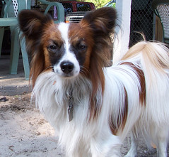 kooikerhondje(0.0), king charles spaniel(0.0), tibetan spaniel(0.0), phalã¨ne(0.0), dog breed(1.0), animal(1.0), dog(1.0), pet(1.0), mammal(1.0), papillon(1.0),