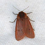 Ruby Tiger (Phragmatobia fuliginosa)