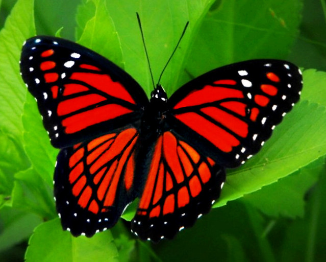 Viceroy Butterfly | Flickr - Photo Sharing!