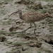 Far Eastern Curlew - Photo (c) David Midgley, some rights reserved (CC BY)