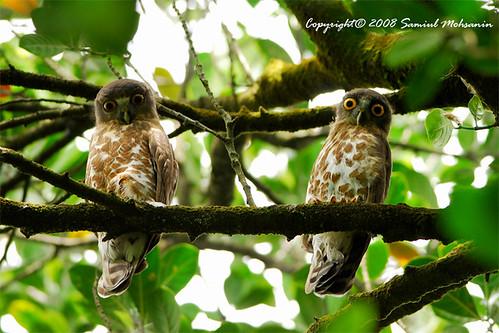 Brown Hawk Owl (Ninox scutulata)... a pair
