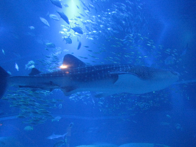 Giant Whale Shark http://www.flickr.com/photos/mckln/3134954048/