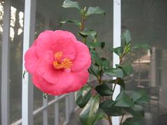 blossom(0.0), camellia(1.0), garden roses(1.0), camellia sasanqua(1.0), flower(1.0), plant(1.0), flora(1.0), camellia japonica(1.0), theaceae(1.0), petal(1.0),