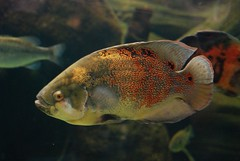 deep sea fish(0.0), coral reef fish(0.0), goldfish(0.0), pomacanthidae(0.0), animal(1.0), fish(1.0), fish(1.0), organism(1.0), marine biology(1.0), macro photography(1.0), fauna(1.0), underwater(1.0), pomacentridae(1.0),