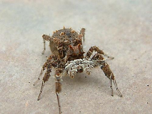 African Spiders Spider...