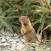 Arctic Ground Squirrel - Photo (c) Alan Vernon, some rights reserved (CC BY)