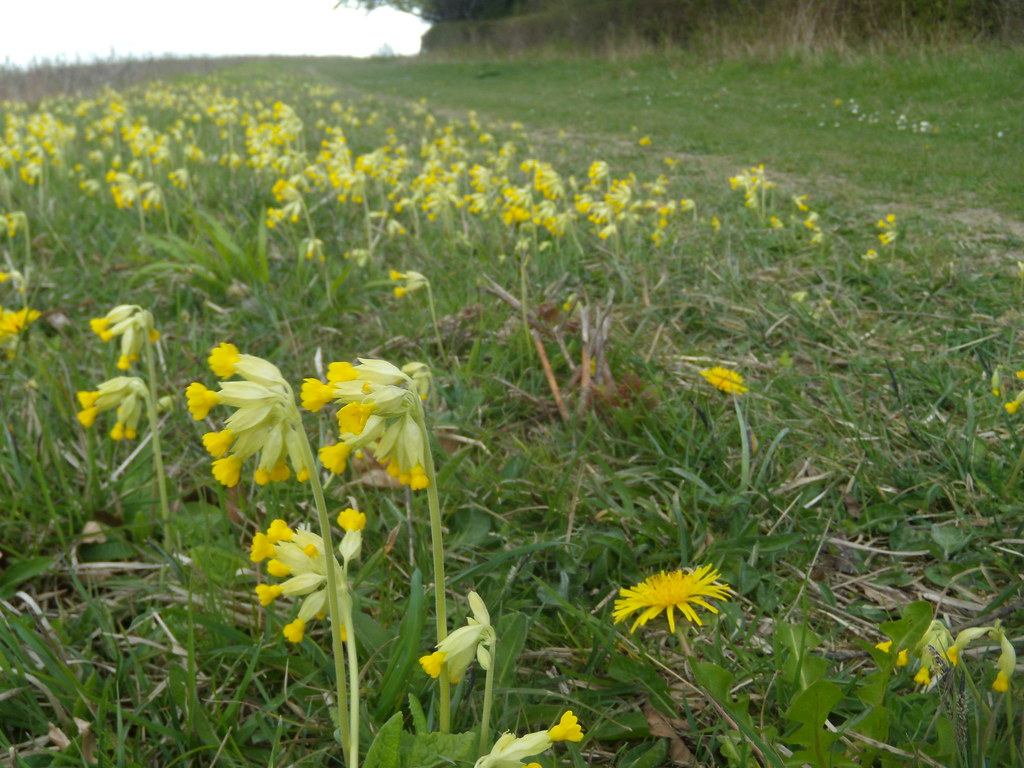 Cowslips Impressive stand above Saunderton. Little Kimble to Saunderton