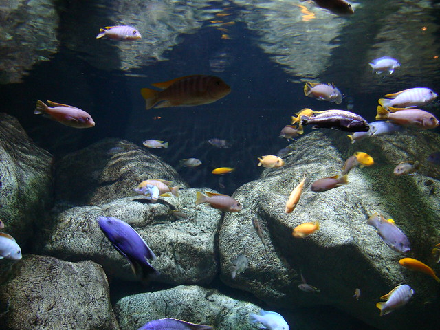 Cichlids of Lake Malawi Flickr - Photo Sharing!