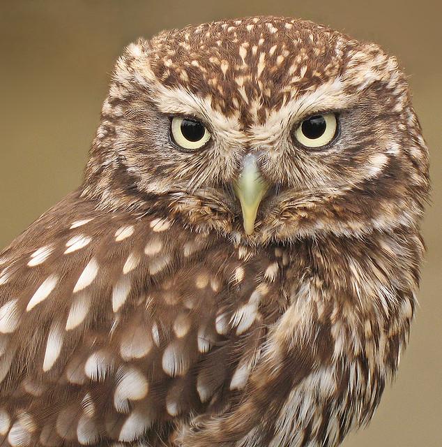 little owl athene noctua this ultra cute little owl