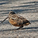 American Woodcock - Photo (c) Jerry Oldenettel, some rights reserved (CC BY-NC-SA)