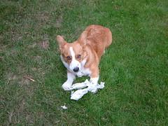 puppy(0.0), dog breed(1.0), animal(1.0), dog(1.0), mammal(1.0), pembroke welsh corgi(1.0), welsh corgi(1.0),