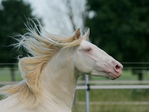Rare Albino Horses for an  albino  horse