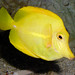 Yellow Tang - Photo (c) Charles Tilford, some rights reserved (CC BY-NC-SA)