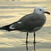 Heermann's Gull - Photo (c) Jamie Chavez, some rights reserved (CC BY-NC)