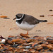 Common Ringed Plover - Photo (c) Mark Kilner, some rights reserved (CC BY-NC-SA)