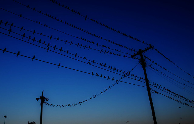Where did birds go before there were electric lines?