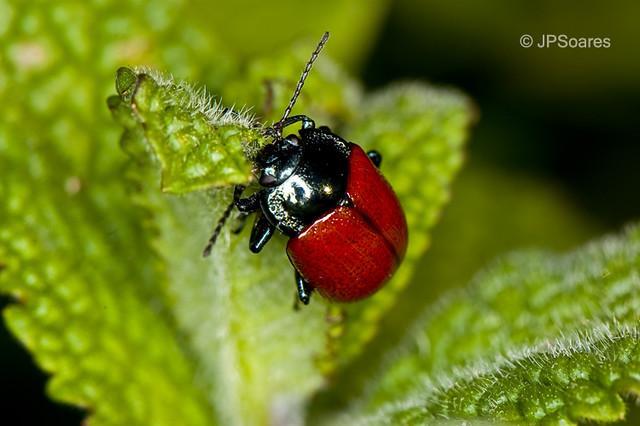 Escaravelho / Beetle (Chrysolina grossa)