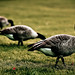 20081012-Geese-Vancouver-stanley-park_MG_1088
