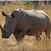 White Rhino by *Kicki*