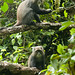 Colobus Monkeys in Rainforest - Mt. Kilimanjaro, Tanzania