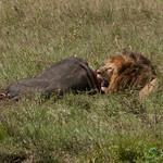 Male Lion Chows on Buffalo - Serengeti, Tanzania