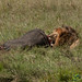 Male Lion Chows on Buffalo - Serengeti, Tanzania