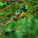 Black-throated Trogon - Photo (c) Jerry Oldenettel, some rights reserved (CC BY-SA)
