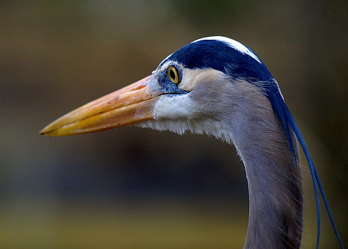 portrait bird closeup florida head greatblueheron ardeaherodias naturesfinest specanimal homosassaspringswildlifestatepark avianexcellence