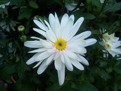 flower, marguerite daisy, daisy, flora, daisy, petal,