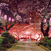 Cherry Blossom at night by design_energy