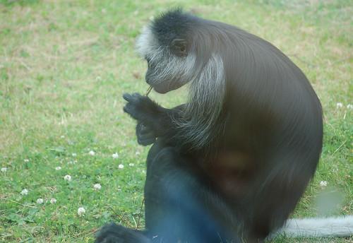 Funny monkey, Smoking Monkey